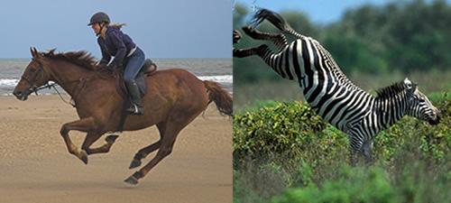 Zebra And Horse A Bit Similar Dallas Equestrian Center